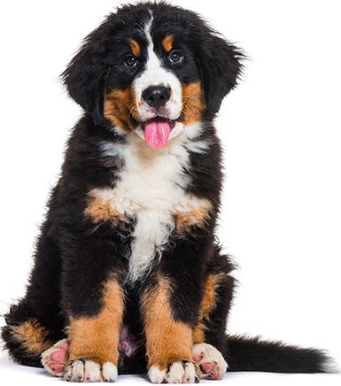 Cachorros - Razas medianas y grandes